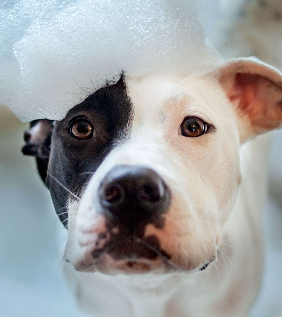 pitbull taking a bubble bath at destination pet of woodstock